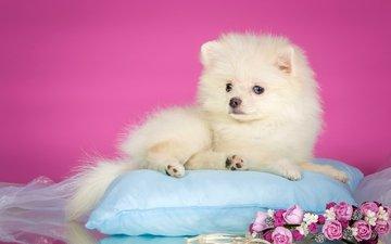flowers, white, puppy, wreath, pillow, spitz