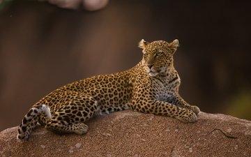 леопард, пятна, хищник