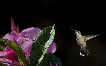 полет, цветок, птица, колибри, кроха