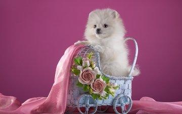 цветы, белый, щенок, ткань, коляска, шпиц