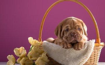 flowers, puppy, basket, breed, dog, bordeaux
