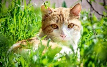 grass, cat, look, yellow eyes