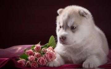 розы, щенок, хаски, малыш, порода