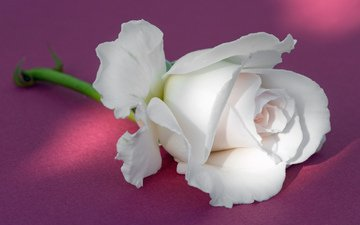 background, rose, bud, white