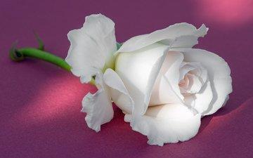 фон, роза, бутон, белая