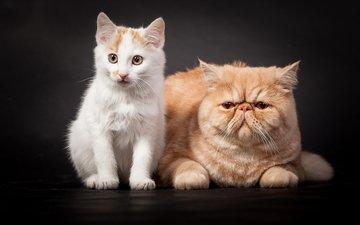 кот, котенок, белый, темный фон, пара, кошки, рыжий, друзья, друганы, персидский