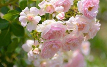 макро, розы, лепестки, бутончики