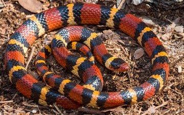 красная, змея, полосатая