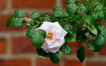 капли, роза, бутон, розовый, куст