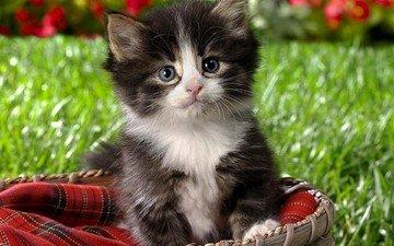 кот, котенок, маленький, пушистый, корзинка