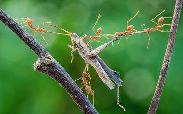 макро, насекомые, охота, кузнечик, муравьи, нападение, добыча