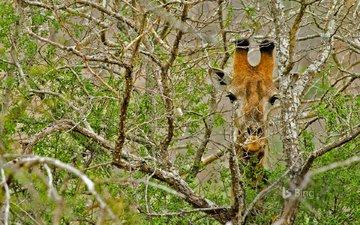 дерево, ветки, африка, жираф