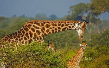 африка, семья, жираф