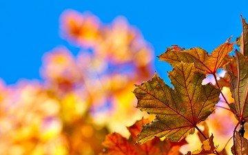 небо, листья, краски, осень, лист, клен