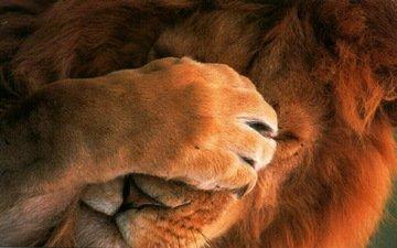 морда, кошка, животное, лев, лапа