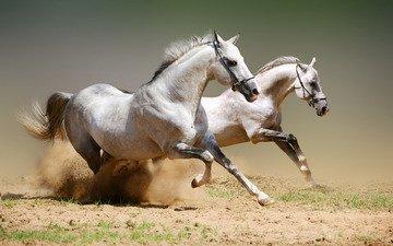 пара, лошади, кони, пыль, грива, бег, копыта, белые лошади