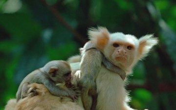 африка, примат, обезьяны, золотисто-белая, игрунка