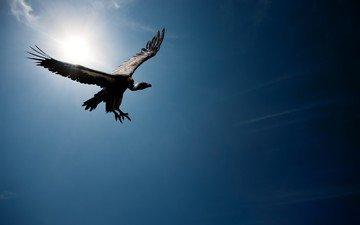 небо, солнце, полет, гриф, птица, стервятник