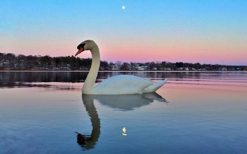озеро, отражение, птица, лебедь