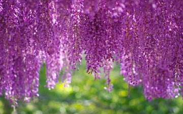 flowers, inflorescence, brush, wisteria