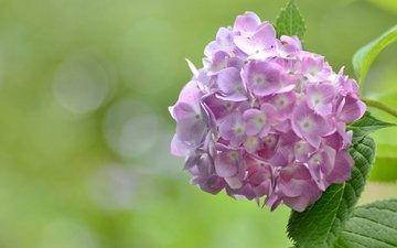 цветы, макро, розовые, гортензия