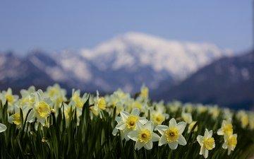 цветы, горы, природа, фокус камеры, размытость, весна, нарциссы