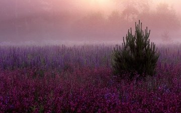 цветы, елка, туман, поляна, розовые, дымка, фиолетовые, сиреневые