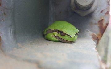 frog, wood, treefrog
