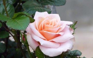 роза, бутон, куст, розовая