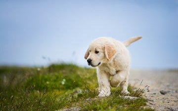 собака, щенок, золотистый ретривер, голден ретривер