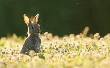 природа, лето, заяц