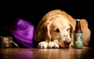 очки, лежит, юмор, бутылка, шляпа, чемодан, золотистый ретривер, на полу