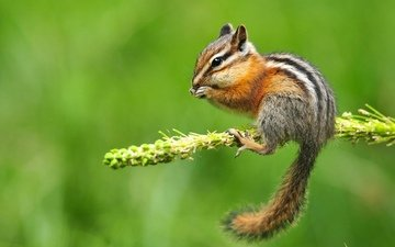 branch, background, flower, protein, chipmunk