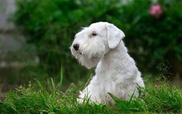 трава, белый, щенок, порода, силихем-терьер
