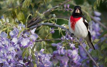 ветка, птица, глициния, вистерия, красногрудый дубоносовый кардинал