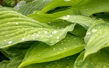 природа, листья, макро, капли, зеленые, растение