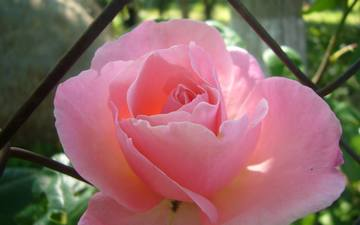 роза, сад, тень