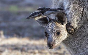 мордашка, кенгуру, детеныш, сумка, кенгурёнок