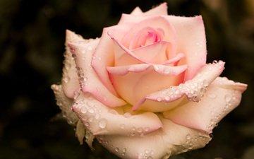 капли, роза, бутон, розовая