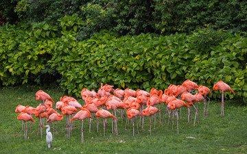 фламинго, птицы, розовые, цапля