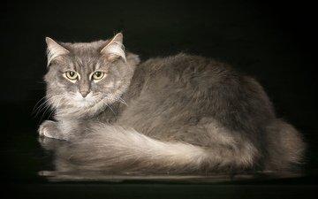 кот, серый, красивый