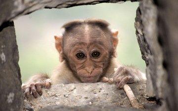 фон, взгляд, обезьяна, примат, макака
