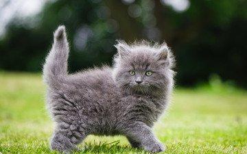 трава, кошка, взгляд, котенок, пушистый, серый