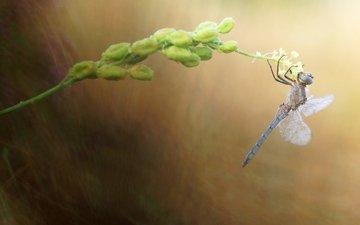 макро, насекомое, стрекоза, растение, стебелёк