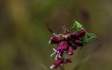 цветы, природа, зелёный, макро, насекомое, размытость, кузнечик