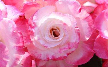 макро, розы, лепестки