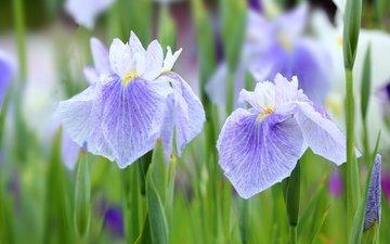 цветы, макро, лепестки, фиолетовый, ирис, касатик