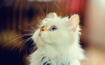 мордочка, взгляд, котенок, пушистый, белый