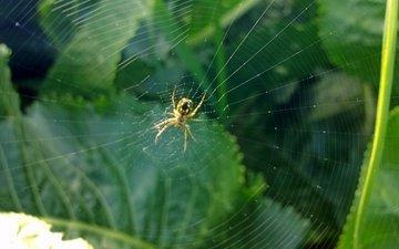 зелень, насекомое, лето, паук, паутина