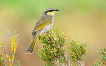 bird, australia, tasmania, geliogaliu honeyeater, song honey